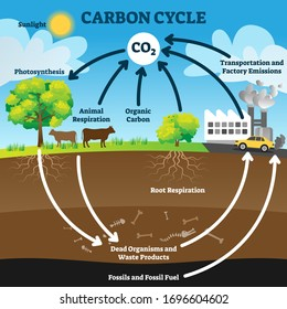 Carbon cycle vector illustration. Labeled CO2 biogeochemical process scheme. Educational exchange diagram with animal respiration, photosynthesis, transportation and factory emissions and fossil fuel.