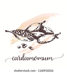 Cardamom sketch on watercolor paint. Hand drawn ink illustration of spice. Vector design for tags, cards, packaging, promo for restaurant, cafe