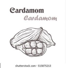 cardamom spice. cardamom Sketch style vector cardamom illustration of cardamom