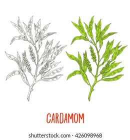 cardamon, hand drawn,  vegetarian spices