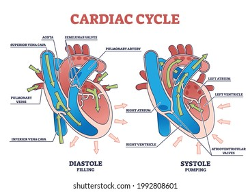 Cardiac cycle with heart diastole and systole process labeled outline diagram. Scheme with educational filling and pumping phases vector illustration. Anatomical explanation with blood flow arrows.