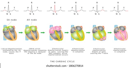 The Cardiac Cycle. The sequence of heart excitation is associated with the deviation of ECG waves by tracing. Diagram of the phases of cardiac cycle
