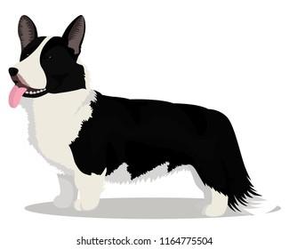Cardigan Welsh corgi dog