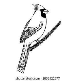 The cardinal bird sits on a spruce branch.  Vector sketch illustration for design, postcards, posters and ornithological magazines.