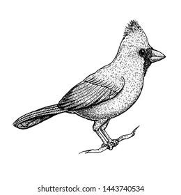 Cardinal bird sketch, vector illustration. Hand drawn red cardinal bird. Engraved illustration. Cardinal bird sitting on a branch. Hand drawn sketch.