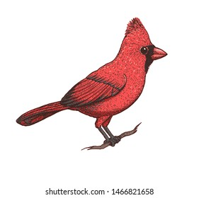 Cardinal bird vector illustration. Hand drawn red cardinal bird. Colorful illustration. Cardinal bird sitting on a branch.