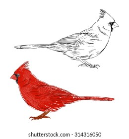 Cardinal bird.  Vector set. Hand drawn illustration, isolated elements for design on a white background.