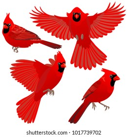 Cardinal birds are sitting and flying on white background