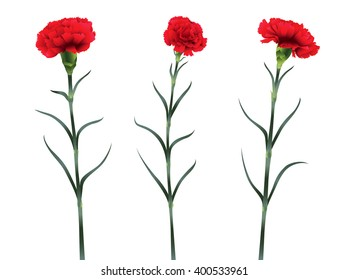 carnations flowers isolated on white background