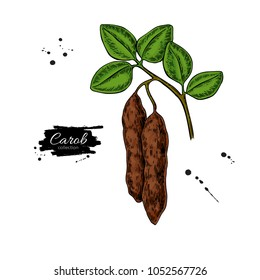Carob branch vector superfood drawing. Isolated hand drawn  illustration on white background. Organic healthy food. Great for banner, poster, label