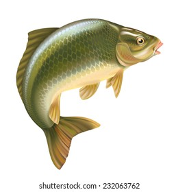 Carp fish vector illustration