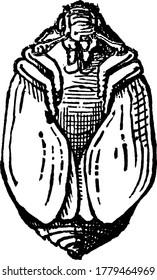 Carpet beetle are domestic house pests whose larvae damages carpets, furniture, clothing, vintage line drawing or engraving illustration.