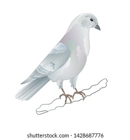 Carrier pigeon white domestic breeds sports bird vintage   vector  illustration for design hand draw