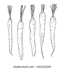 Carrots isolated on white background. Vector illustration in sketch style.