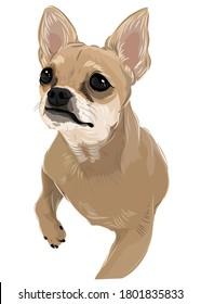 Cartoon drawing puppy chihuahua dog drawing vector art