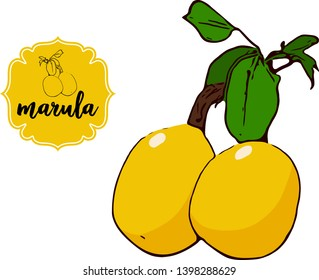 Cartoon drawn marula isolated on white. Yellow retro store label badge with text. Business fruit vintage sticker. Exotic delicious amarula fruit vector illustration for web, print.