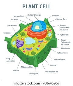 Cartoon Green Plant Cell Anatomy Banner Card Poster Scientific or Education Concept Flat Design Style. Vector illustration of Microbiology
