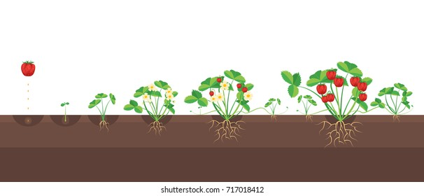 Cartoon Growth Stages Of Strawberries Farm Summer Cycle Concept Flat Design Style. Vector illustration of Stage Ripening Strawberry