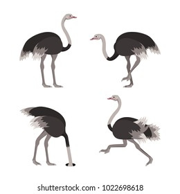 Cartoon Ostrich Gray Bird Set Flat Design Style Isolated on White Background. Vector illustration of African Exotic Animal