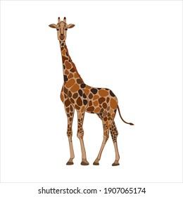 Cartoon vector, giraffe, safari exotic nature. Stock doodle illustration, isolated on white background.