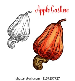 Cashew apple fruit with nut sketch of brazilian tropical tree. Exotic pear shaped berry with ripe seed icon of healthy organic food ingredient for vegetarian snack and farm market label design