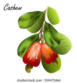 Cashew nuts (Anacardium occidentale, indian nut). Hand drawn vector illustration of cashew tree branch with leaves and nuts on white background.