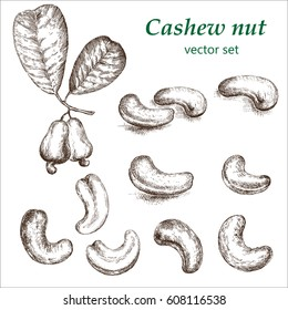 Cashew  plant set. The illustration in vintage style. Picture made by hands with ink.