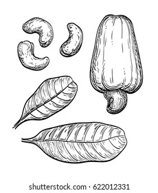 Cashew set. Hand drawn vector illustration. Isolated on white background. Vintage style.