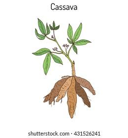 Cassava (Manihot esculenta), or Brazilian arrowroot, manioc, tapioca, plant with leaves and tubers. Hand drawn botanical vector illustration