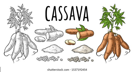 Cassava manioc plants with leaves, tuber, slice, tapioca ball, bunch of starch. Ingredients for bubble milk tea. Vector color vintage engraving illustration. Isolated on white background.