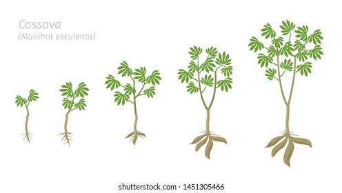 Cassava plant growth stages set. Manihot esculenta ripening period progression. Manioc, yuca macaxeira mandioca and aipim life cycle animation phases. Cassava tubers harvested.