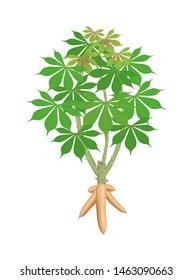 cassava tree plant, cassava rhizomes isolated on white background, manioc cassava roots underground plants, cassava plantation, tapioca for flour industry or ethanol industry, tapioca plant nature