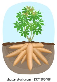 cassava tree plant, tapioca underground root, cassava rhizomes isolated on white background, manioc cassava roots underground plants, cassava plantation, tapioca for flour industry or ethanol industry