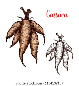 Cassava tuber vector sketch. Botanical design of manioc, yuca or mandioca and Brazilian arrowroot or Manihot esculenta of tropical exotic vegetable for farmer market or agriculture