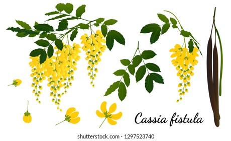 Cassia fistula  isolated on white background.
