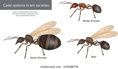 Caste systems in ant societies. Type of ants Social structure Male, Queen, Worker