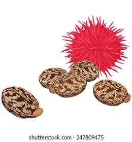 Castor seeds and fruit, Ricin, Vector illustration