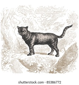 """Cat - vintage engraved illustration - """"Histoire naturelle"""" by Buffon and Lacépède published in 1881 France"""