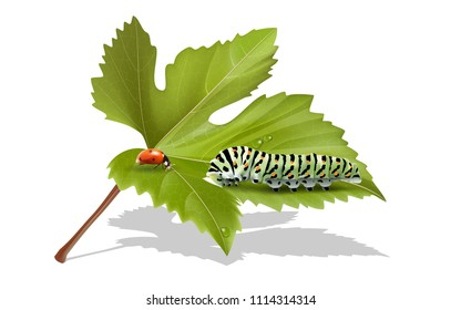 Caterpillar and butterfly Eating the leaves of the tree.