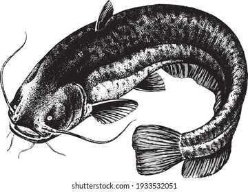 Catfish, Fish collection. Healthy lifestyle, delicious food. Hand-drawn images, black and white graphics.