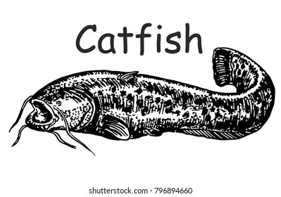 Catfish sketch. Drawing sketch styleillustration of a ray-finned fish catfish also known as mud cat,  on isolated white background.