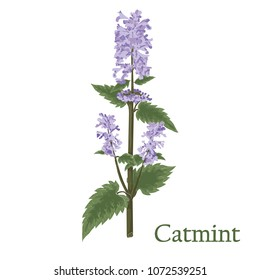 Catmint, nepeta, catnip. Illustration of a plant in a vector with flower for use in botany.