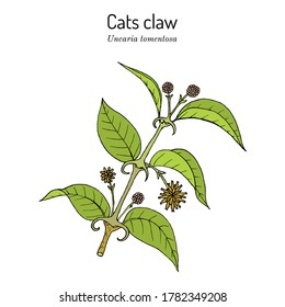 Cat's claw (Uncaria tomentosa), or vilcacora, medicinal plant - natural treatment for many diseases. Hand drawn botanical vector illustration