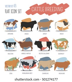 Cattle breeding farming. Cow, bulls, calf isolated icon set with zebu, highland, angus. Flat design. Vector illustration