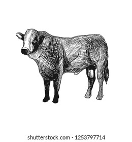 Cattle Cow Sketch Illustration