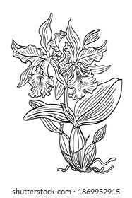 Cattleya orchid with flowers. bud, leaves and roots, black and white vector graphics, coloring pages for children and adults, print for various designs.
