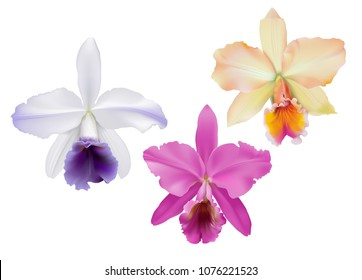 Cattleya Orchids. Hand drawn vector illustration of tropical orchids,  on white background.