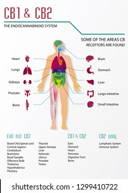 CBD work is cb1 and cb2 in human body endocannabinoid system infographic
