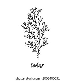 Cedar. Ayurveda. Natural herbs. Ayurvedic herbs, medicines. Herbal illustration. A medicinal plant. The style of doodles. Medicines for health from plants. Aromatherapy.