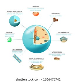Cell anatomy. Structure and organelles of human's cell. Cross sections of animal cell: nucleus, nucleolus, mitochondria, centrosome, golgi apparatus, endoplasmic reticulum, ribosome and membrane.